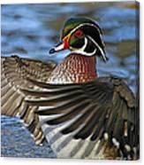 Wood Duck Standing Ovation Canvas Print