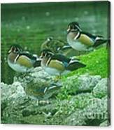 Wood Ducks Hanging Out Canvas Print