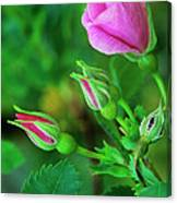 Wood Rose Buds Rosa Woodsii Wild Canvas Print