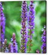 Wood Sage Canvas Print