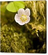 Wood Sorrel Canvas Print