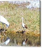 Wood Stork And Ibis And Heron Canvas Print