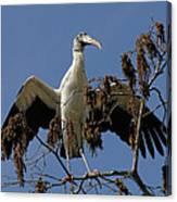 Wood Stork Preparing To Fly Canvas Print