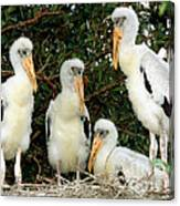 Wood Stork Young In Nest Canvas Print