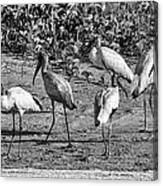 Wood Storks In Black And White Canvas Print