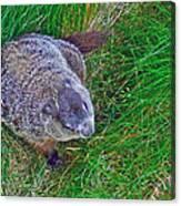 Woodchuck In Salmonier Nature Park-nl Canvas Print