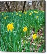 Woodland Daffodils Canvas Print
