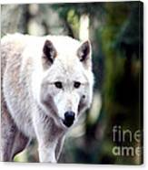 Woodland White Wolf 2 Canvas Print