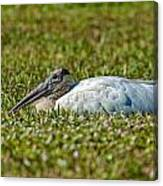 Woodstork Lazing In The Park Canvas Print