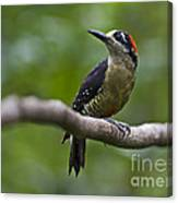 Woody Woodpecker.. Canvas Print