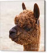 Woolly Alpaca Canvas Print