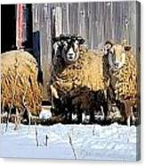 Wooly Sheep In Winter Canvas Print