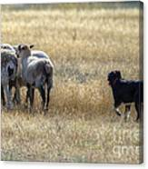 Working Sheep Canvas Print
