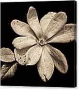 Wounded White Magnolia Wide Version Sepia Canvas Print