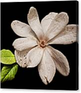 Wounded White Magnolia Wide Version Canvas Print