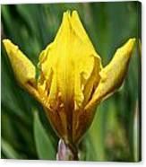 Wow The Dwarf Iris Canvas Print