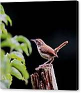 Wren - Carolina Wren - Bird Canvas Print