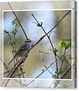 Wren In Spring 2013 Canvas Print
