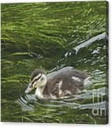 Wye Dale Duckling Canvas Print