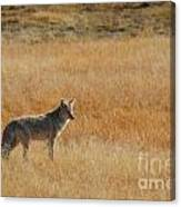 Wylie Coyote Canvas Print