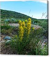 Wyoming Wildflowers Indian Paintflowers Canvas Print