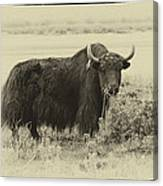 Yaks...the Official Animal Of Tibet Canvas Print