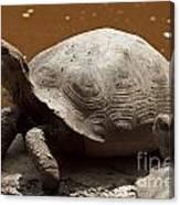 yawning juvenile Galapagos Giant Tortoise Canvas Print