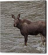 Yearling Moose In The Shoshone River   #1284 Canvas Print