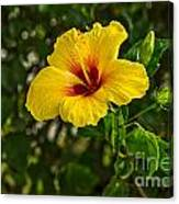 Yellow - Beautiful Hibiscus Flowers In Bloom On The Island Of Maui. Canvas Print