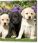 Yellow And Black Labrador Puppies Canvas Print