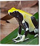Yellow And Black Poison Dart Frog Canvas Print