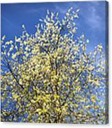 Yellow And Blue - Blooming Tree In Spring Canvas Print