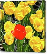 Yellow And One Red Tulip Canvas Print