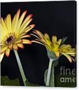 Yellow And Orange Gerbera 2 Canvas Print