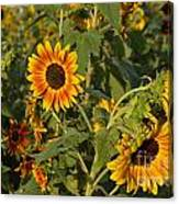 Yellow And Orange Sunflowers Canvas Print