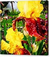 Yellow And Purple Iris Canvas Print