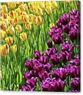 Yellow And Purple Tulips Canvas Print