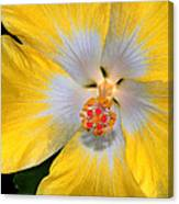 Yellow And White Hibiscus Canvas Print