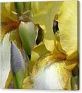 Yellow And White Iris Canvas Print
