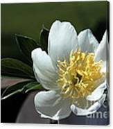 Yellow And White Peony Flower Canvas Print
