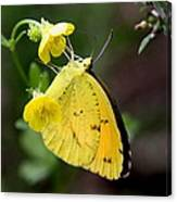 Yellow And Yellow Sulphur Butterfly Canvas Print