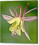 Yellow Aquilegia Bloom Canvas Print