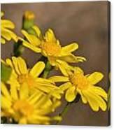 Yellow Arfaj Flowers Canvas Print