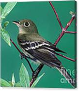 Yellow-bellied Flycatcher Canvas Print
