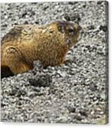Yellow-bellied Marmot   #5187 Canvas Print