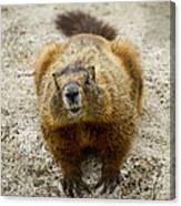 Yellow-bellied Marmot   #5300 Canvas Print