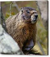 Yellow-bellied Marmot Canvas Print