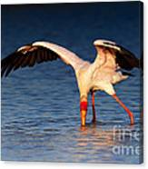Yellow-billed Stork Hunting For Food Canvas Print