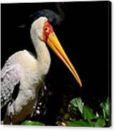 Yellow Billed Stork Peers At Camera Canvas Print