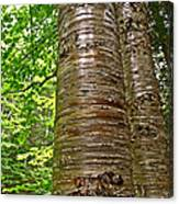 Yellow Birch Near La Chute In Forillon Np-qc Canvas Print